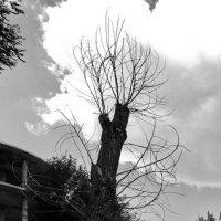 Живое дерево :: Анатолий Шулков