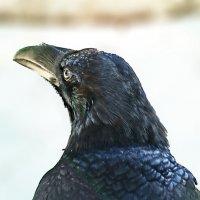 Мудрый ворон :: Светлана