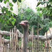 Национальный зоопарк Бангкока. Страус эму. :: Лариса (Phinikia) Двойникова
