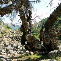 ПРОГУЛКА. Святое дерево. :: Виктор Осипчук