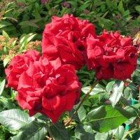 Четыре розы алые :: Дмитрий Никитин