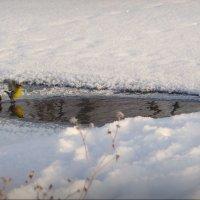 Чижик, чижик ...воду пьёт! :: Владимир Шошин