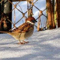 Чирика :: linnud