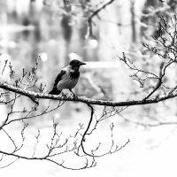Просто ворона :: Егор Егоров