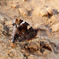 высасывание влаги с мокрого песка - не нектаром единым... :: Александр Прокудин