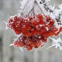 Зимняя рябина :: Татьяна Смоляниченко