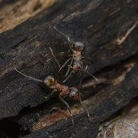 Лесные муравьи. :: Юрий Бичеров