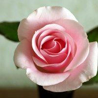 Зимняя роза :: Светлана