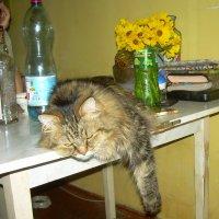 Кот Макс после встречи Нового года :: татьяна