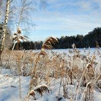 Зима и камыши :: Милешкин Владимир Алексеевич