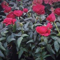 розы :: kuta75 оля оля