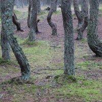 Танцующий лес Куршской косы 3 :: Марина Домосилецкая