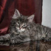 Тигр серебристый. :: Olga Kramoreva