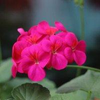 Зимнее цветение герани (пеларгонии) :: Marina K