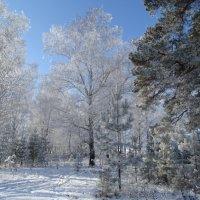 В серебре зимы:))) :: Владимир Звягин