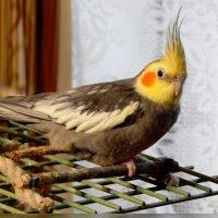 корелла :: linnud