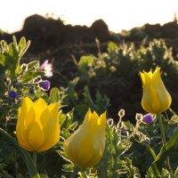 Желтые тюльпаны :: Ксения Репина