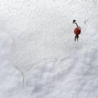 Примерзший шиповник :: Михаил Онипенко