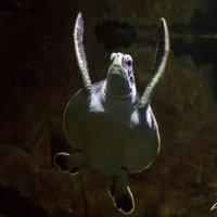 Черепаха :: Asya Dubova