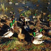 Утки на зимнем озере :: Nina Yudicheva