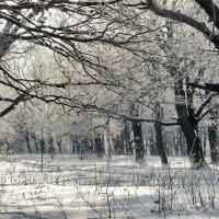 Декабрь в дубовой роще! :: Владимир Шошин