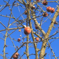 Зимние яблочки :: Елена Милая