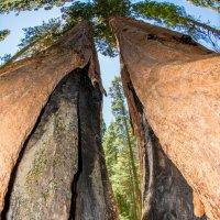 The Big Trees Park, California :: Leonid