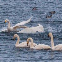 Атакующий лебедь :: Галина Шепелева