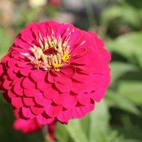 Цветы летом :: Олег Афанасьевич Сергеев