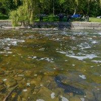 В октябре лосось идёт в верховья реки на нерест (р.Хамбер, Торонто) :: Юрий Поляков