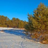 Молодой сосновый лес :: Анатолий Иргл