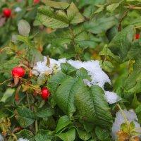 Снег на штиповнике :: Наталья Золотых-Сибирская
