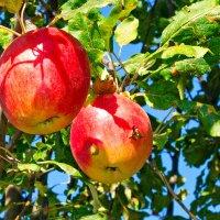 Яблочки. :: santamoroz