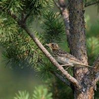 Лесной конек :: Екатерина Торганская