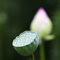 Семена лотоса :: Мария Самохина