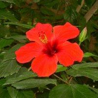 Гибискус или китайская роза :: татьяна