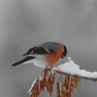 Снегирь :: Андрей Вигерчук