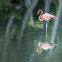 Розовый фламинго - дитя заката 2/3 :: Борис Гольдберг