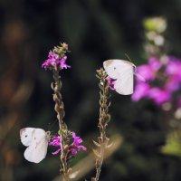 бабочки :: Vahe Dilanchyan
