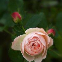 Осенняя роза :: Kapris VS