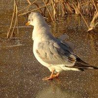 Взъерошенная чайка :: Маргарита Батырева