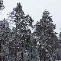 зимний лес :: оксана