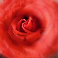 Аромат розы. :: Мила Бовкун