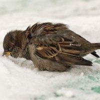 Воробей и снег :: Андрей Поляков