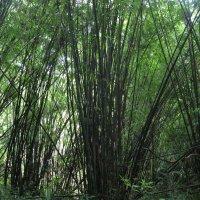 Горные джунгли Ко Чанга. Бамбуковая роща. :: Лариса (Phinikia) Двойникова