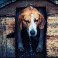 Старая собачка :: Сергей