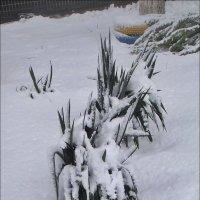Юкка под снежным одеялом :: Нина Корешкова