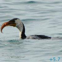 Баклан поймал рыбу и проглотил за 10 секунд (3/5) :: Асылбек Айманов