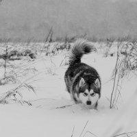 серый волк))) :: николай постернак