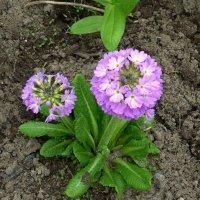 Первые цветы :: Вера Щукина